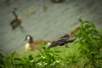 Vibrant, Close Up Action Photo of a Red Winged Blackbird Flying Over a Lake - with Swans Swimming in the Background on a Summer Day