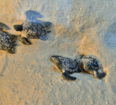 Newly hatched baby turtles are racing