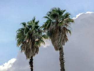 Two tops of palm trees against a cloudy sky background