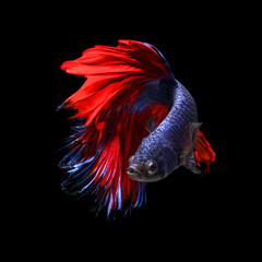 Siamese Fighting Fish - Siamese Fighting Fish also known as Betta is seen in an aquarium in Chicago, United States. Bettas are the most common species in the world-wide aquarium trade.