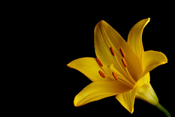 Yellow Lily flower on Black Background