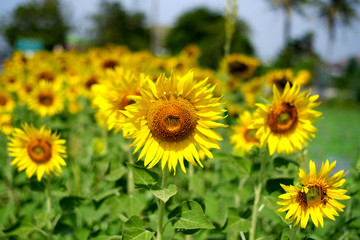 THE GIANT SUNFLOWERS FIELD