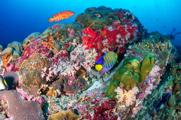 Colorful tropical fish swimming around a coral reef in Thailand