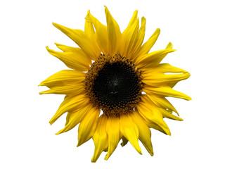 Fresh yellow sunflower isolated on white background