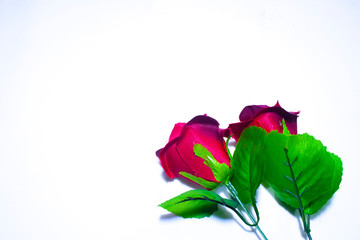 Beautiful rose for Valentine day photoshoot