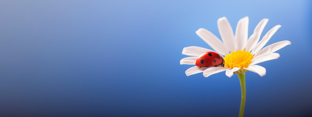 ladybird on camomile flower, ladybug on blue background
