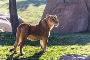 Fotobehang Leeuw A lioness standing on the grass