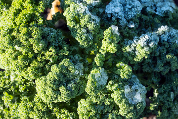 green kale or borecole with frost in vegetable garden