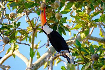 Toco Toucan, Ramphastos Toco, also known as Common Toucan, Giant Toucan, Iguazu or Iguacu, Brazil