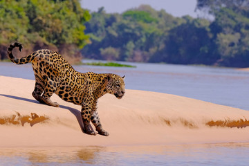 Jaguar, Panthera Onca, Female, Cuiaba River, Porto Jofre, Pantanal Matogrossense, Mato Grosso do Sul, Brazil