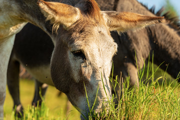 Close-up of a Donkey Grazing on Green Meadow