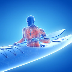 3d rendered medically accurate illustration of the muscle system of a canoeist
