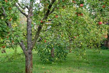 apple trees in the garden