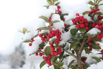 Holly bush with beautiful red berries covered by snow in the garden in winter season. Ilex cornuta