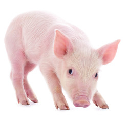 Small pink pig isolated.