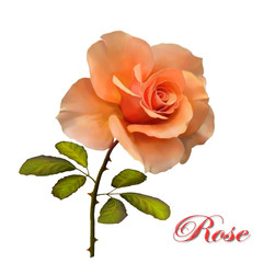 Illustration of a beautiful rose on a white background.