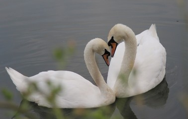 a pair of white swans swims in the lake, their necks are bent to each other in the shape of a heart