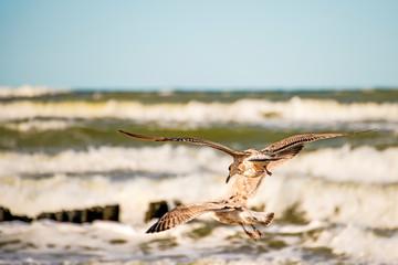 sea gulls flying over beach of the Baltic Sea