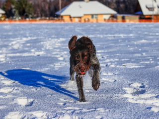 A playful female dog running in snow and enjoy it. A Bohemian Wire-haired Pointing Griffon or korthals griffon jumping and frolick outdoor, on some meadow