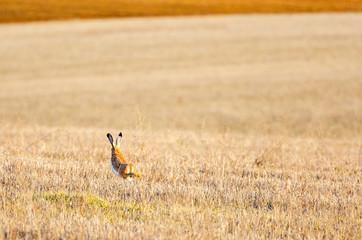 Liebre ibérica corriendo sobre campo de cereal cosechado. Comarca la Los Oteros.
