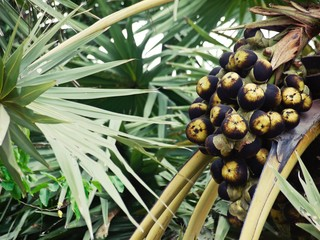 fresh fruit Asian palmyra palm, Borassus flabellifer, toddy palm on origin tree in plantation
