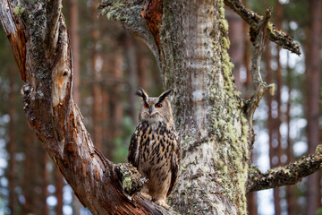 Eagle owl, bubo bubo in the forest Fototapete