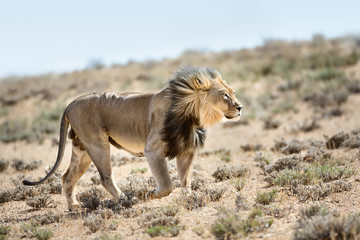 Wall Mural - Magnificent male lion walking highly focused with the wind in its face. Kgalagadi Transfrontier Park. Panthera leo