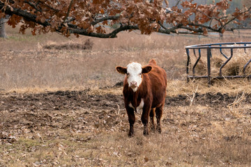Cow standing in a pasture on a cattle ranch in Oklahoma