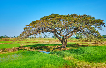 The shady acacia tree, Yangon suburb, Myanmar
