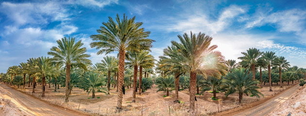 Panoramic image with plantation of date palms, desert agriculture in the Middle East