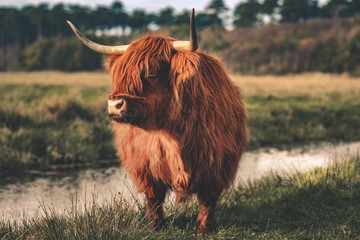 Canvas Prints Highland Cow Hochlandrind am Bach