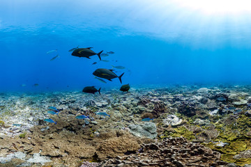 Healthy coral reef and school of fish in Palmyra