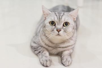 Portrait of a scottish fold cat.Face of scottish fold cat