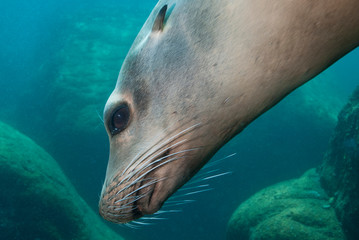 Head of a Sea Lion showing the eye, ear, mouth and the whiskers