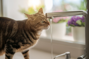 Beautiful short hair cat drinking water from the tap at the kitchen