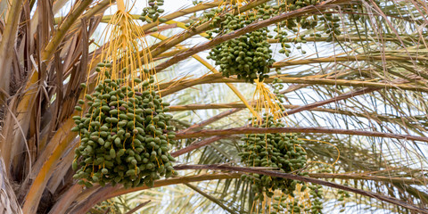 The clusters of green dates on palm tree, Tunisia, Africa