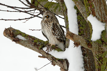 A short-eared owl (Asio Flammeus) sits on a tree branch in Niergnies near Cambrai, as winter weather hits France