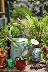 Old galvanised watering can with potted plants