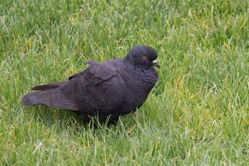 Black ruffling up pigeon on a green grass.