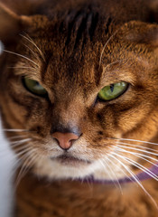 Close portrait of a cat of the abyssinian breed