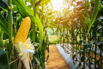 Corn cob with green leaves growth in agriculture field outdoor Fototapete