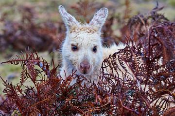 White wallaby at Narawntapu National Park in Tasmania