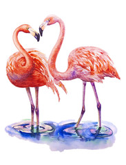 Two lovers pink flamingo standing in water isolated on white background. Watercolor illustration