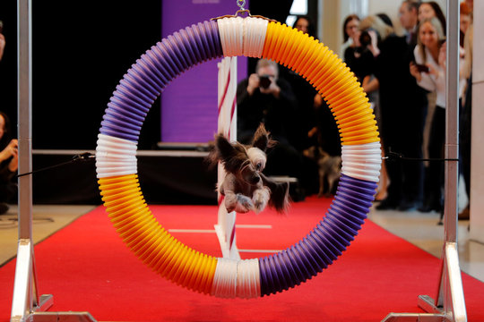 "A chinese crested dog jumps through a hoop during an agility demonstration put on by the Westminster Kennel Club dog show at a ""Meet the Breed"" event in New York"