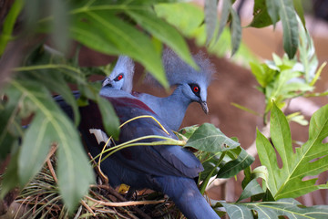 The western crowned pigeon, also known as the common crowned pigeon or blue crowned pigeon (Goura cristata),a pair of adult birds on a nest.