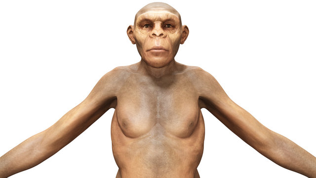 Evolution Homo Erectus Woman