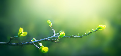 Fresh young green leaves of twig tree growing in spring. Beautiful leaf natural background with copy space, panorama Fotobehang