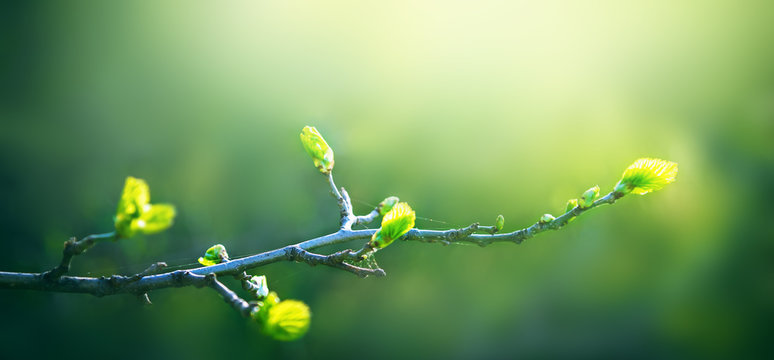 Fresh young green leaves of twig tree growing in spring. Beautiful leaf natural background with copy space, panorama