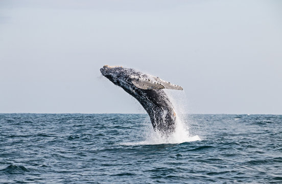 Humpback whale jumping in the peruvian Pacific Ocean. Second stretch