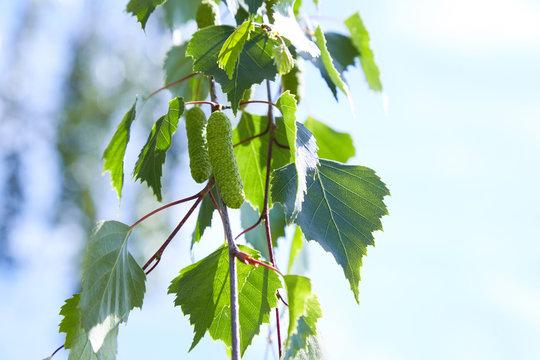 branch of birch tree (Betula pendula, silver birch, warty birch, European white birch) with green leaves and catkins